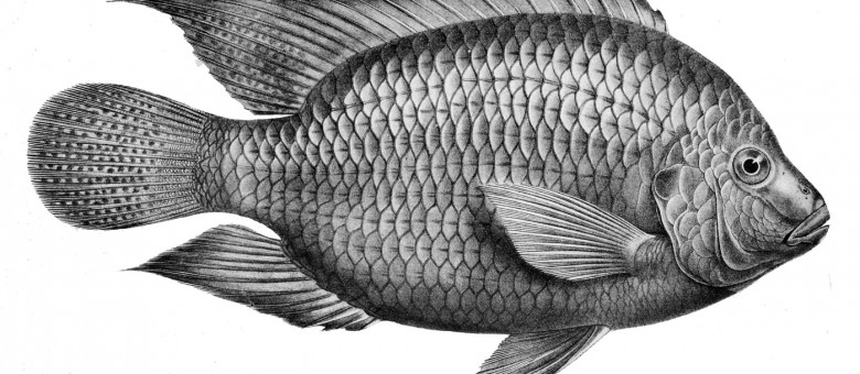 Why Tilapia Is Worse Than Bacon