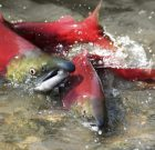 Genetically Modified Salmon – You May Have Eaten It Already!